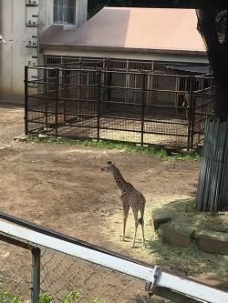 キリンの赤ちゃん