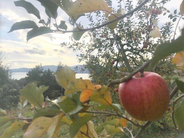 米崎リンゴを未来へつなぐ🍎